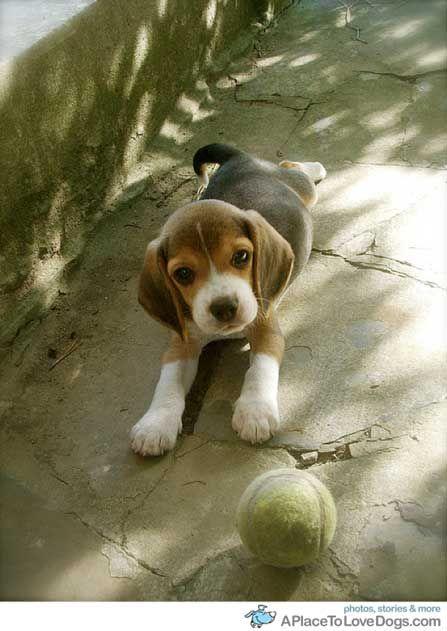 Cool Super Cute Beagle Adorable Dog - 73998506894b4a9e647f5a18f34e4e7b  HD_144588  .jpg