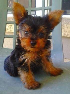 Tiny Baby Yorkie Puppies Born 8 6 12 Ckc Yorkie Puppy Yorkie Terrier Baby Yorkie