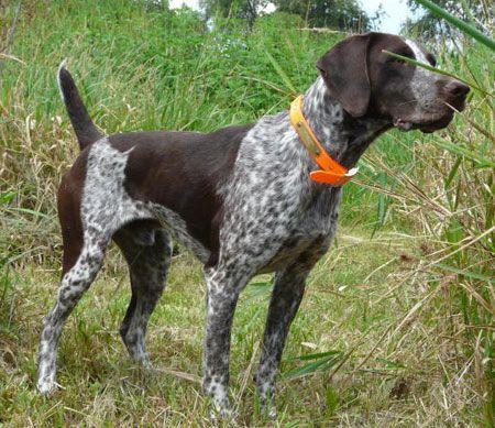 German Shorthair Hunting Dog For Sale German Shorthair Dogs For