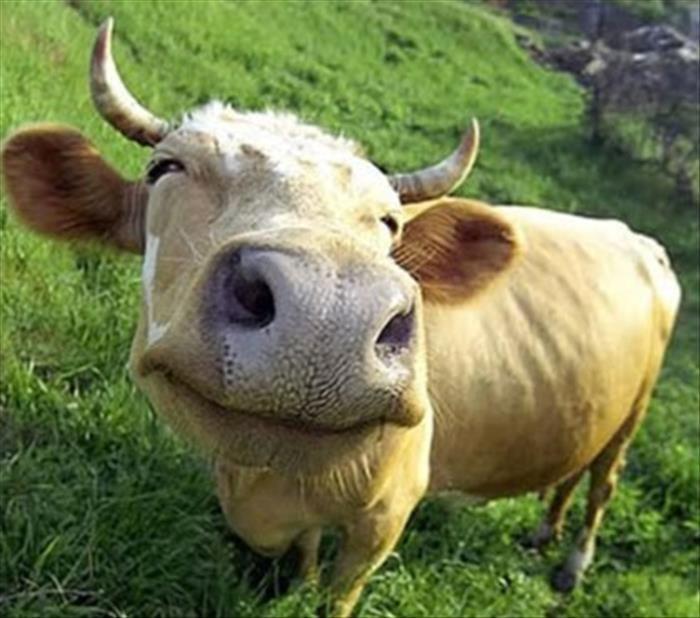 Los eructos y los gases de las vacas deben ser reducido en pro del ...