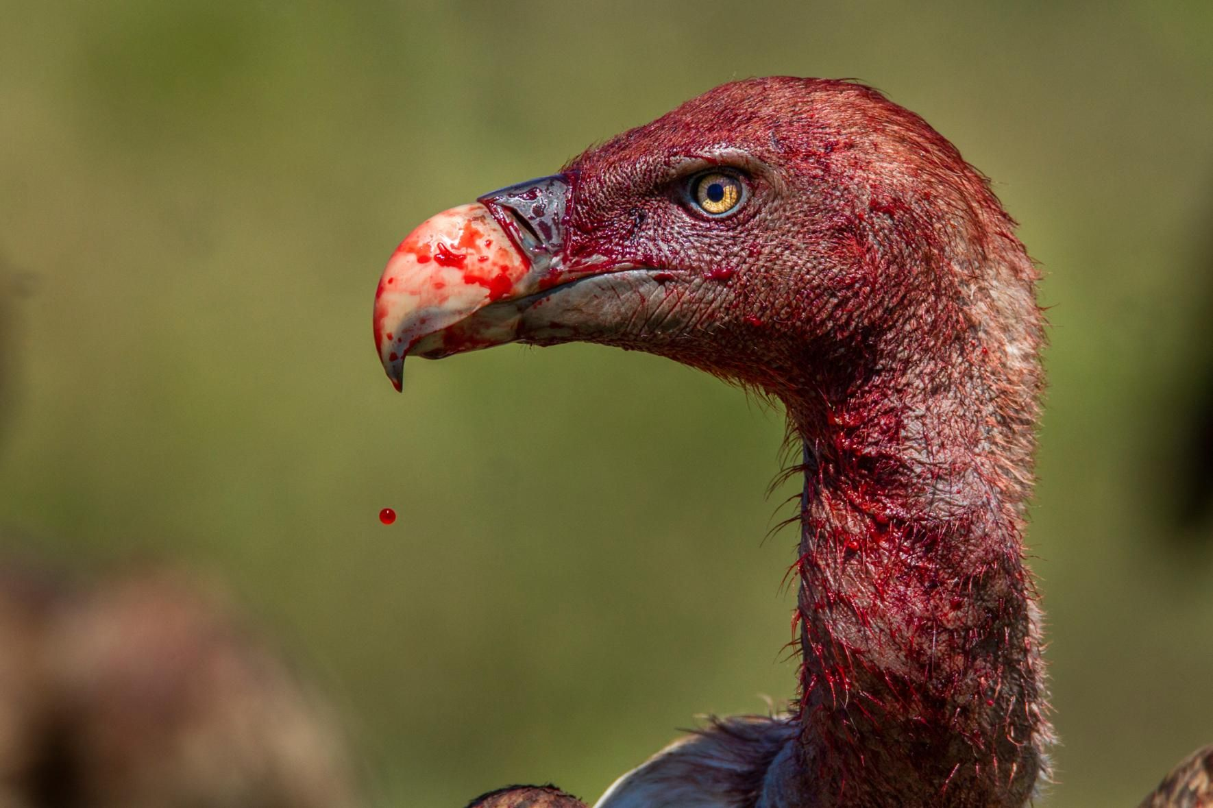 Picture of Ruppell's Griffon vulture