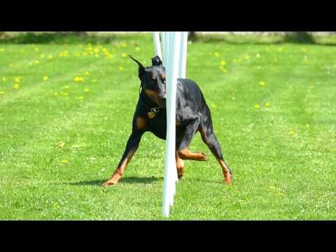 Lexx Doberman Pinscher Doing Agility Weave Poles In Slow Motion