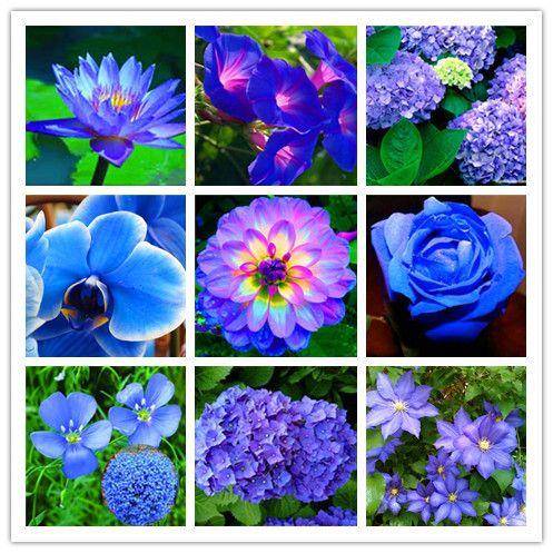Popular Blue Dahlia Flowers Buy Cheap Blue Dahlia Flowers Lots From China Blue Dahlia Flowers Suppliers On Aliexpress Co Dahlia Flower Blue Dahlia Flower Seeds