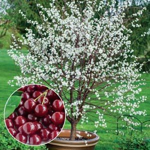 Romeo Bush Cherry Cherry Plant Dwarf Fruit Trees Dwarf Cherry