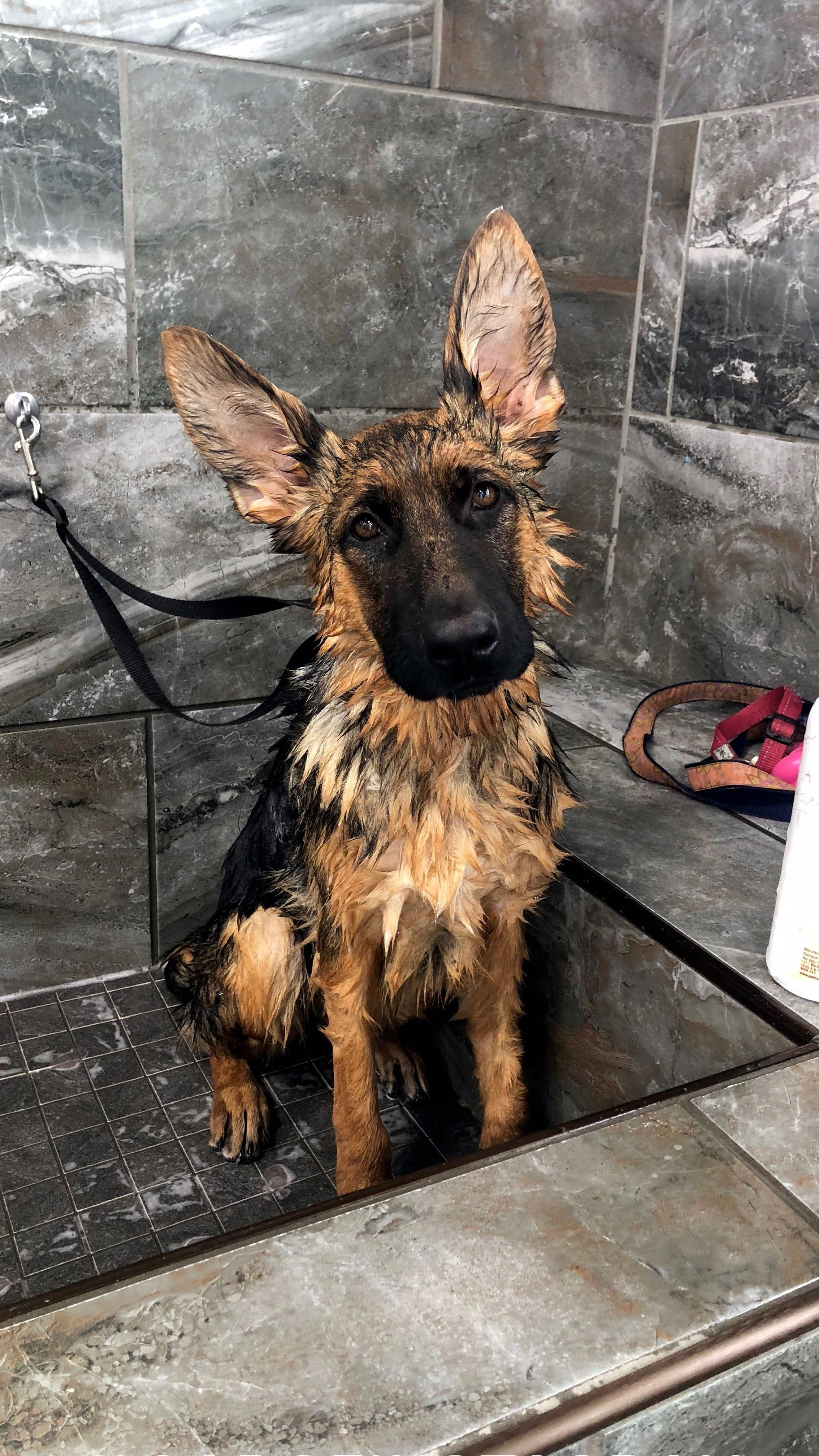 Fantastic German Shepherd Puppy Information Is Offered On Our Web Pages Have A Look And You Will Not Be Sorry German Shepherd Puppies Shepherd Puppies Dogs