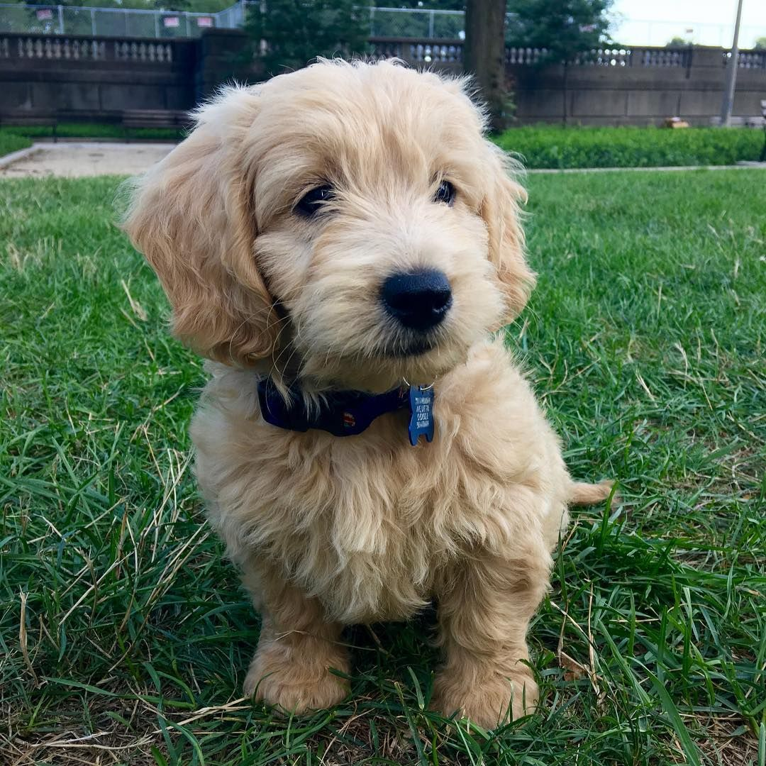 F1 Mini Goldendoodle Instagram Gizmothedood Cute Animals