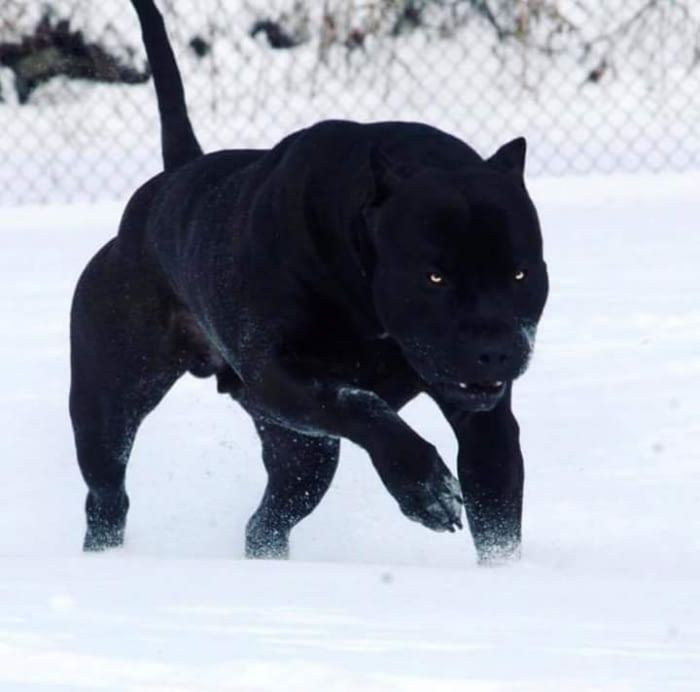 Most panther looking dog ever. Dogs, Mexican hairless