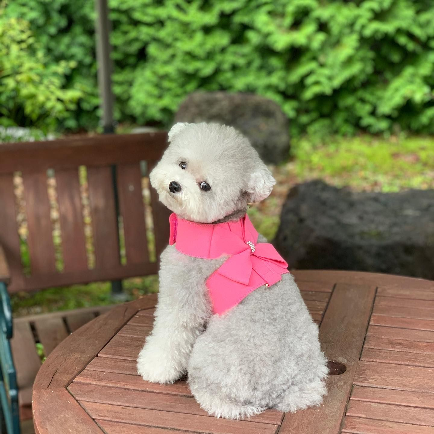 🐾❤Adorable Poodle or not? ➡️Check out hilarious gifts for Poodle lovers (link in bio: @PoodleLove365) funnygifts.shop/collections/Poodle-lover-gifts .  .  via @spicedogsss  #poodle #poodlelover #poodlelove #poodlelovers #poodledog #poodledogs #poodlepuppy #poodlepuppies #cutepoodle #poodlecute