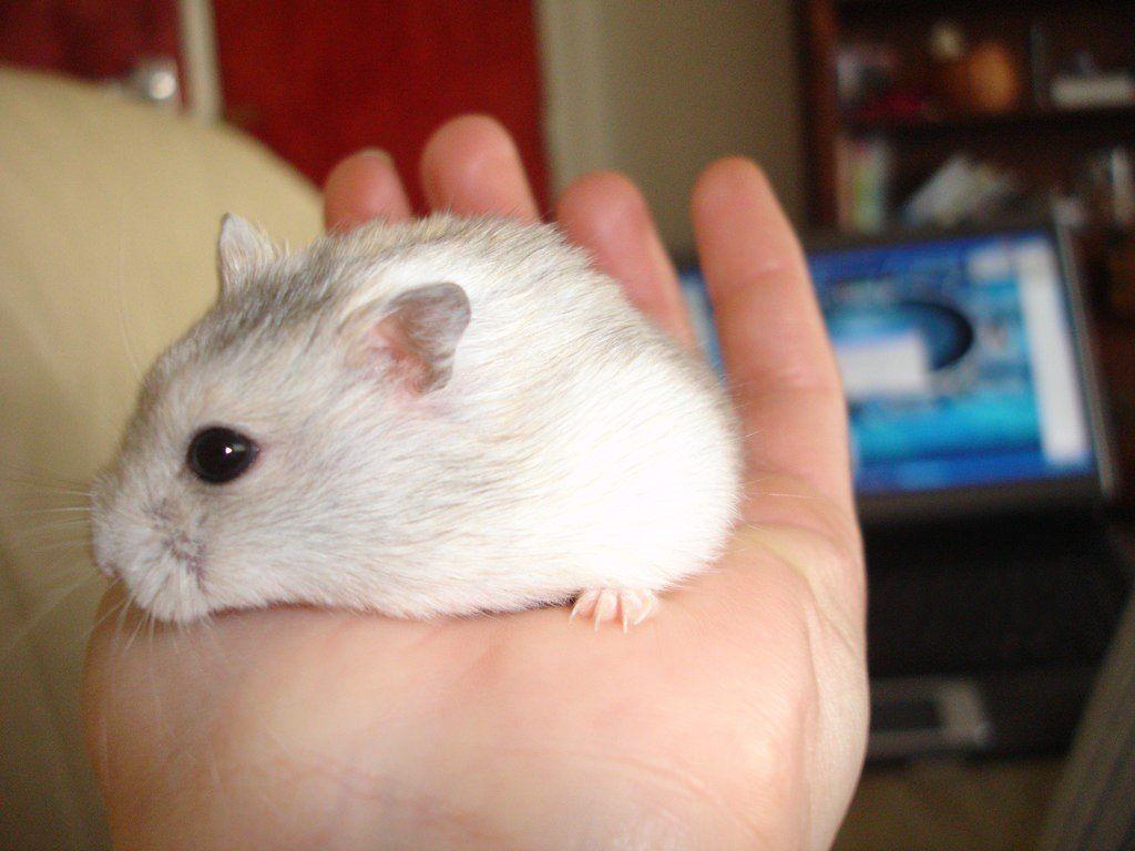 Danish Our Superhero Dwarf Hamster Winter White Hamster Dwarf Hamster Hamster Care