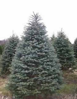 Christmas Tree Farms In Texas
