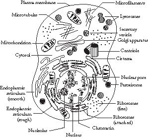 The Structure of Prokaryote and Eukaryote Cells; info on