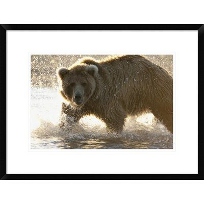 """Global Gallery Grizzly Bear Foraging for Salmon in Stream, Katmai National Park, Alaska by Matthias Breiter Framed Photographic Print Size: 18"""" H x..."""