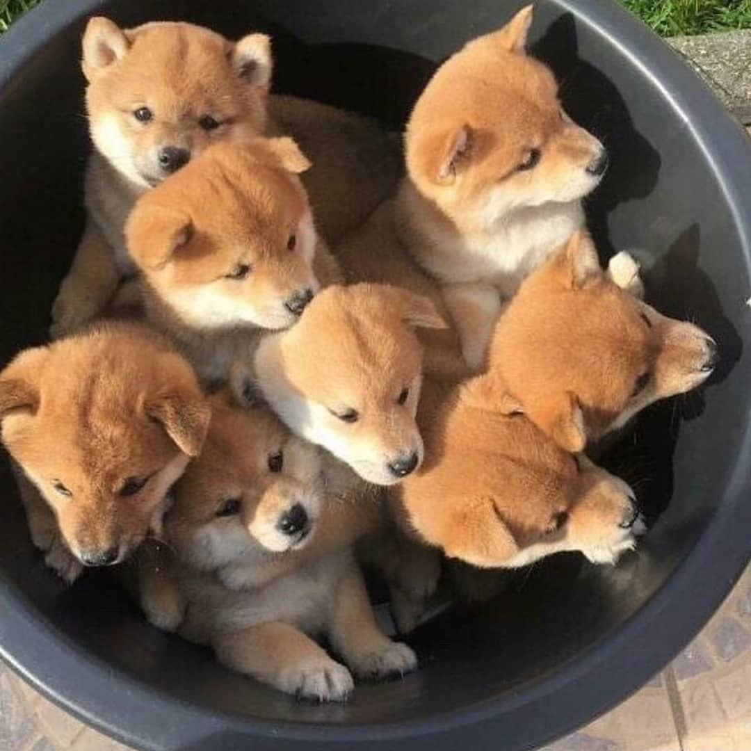 Baby Puppies On Instagram Bucket Full Of Shiba Puppies Tag Someone Who Should See This Follow Babypet Vibe Cute Dogs Cute Animals Cute Baby Animals