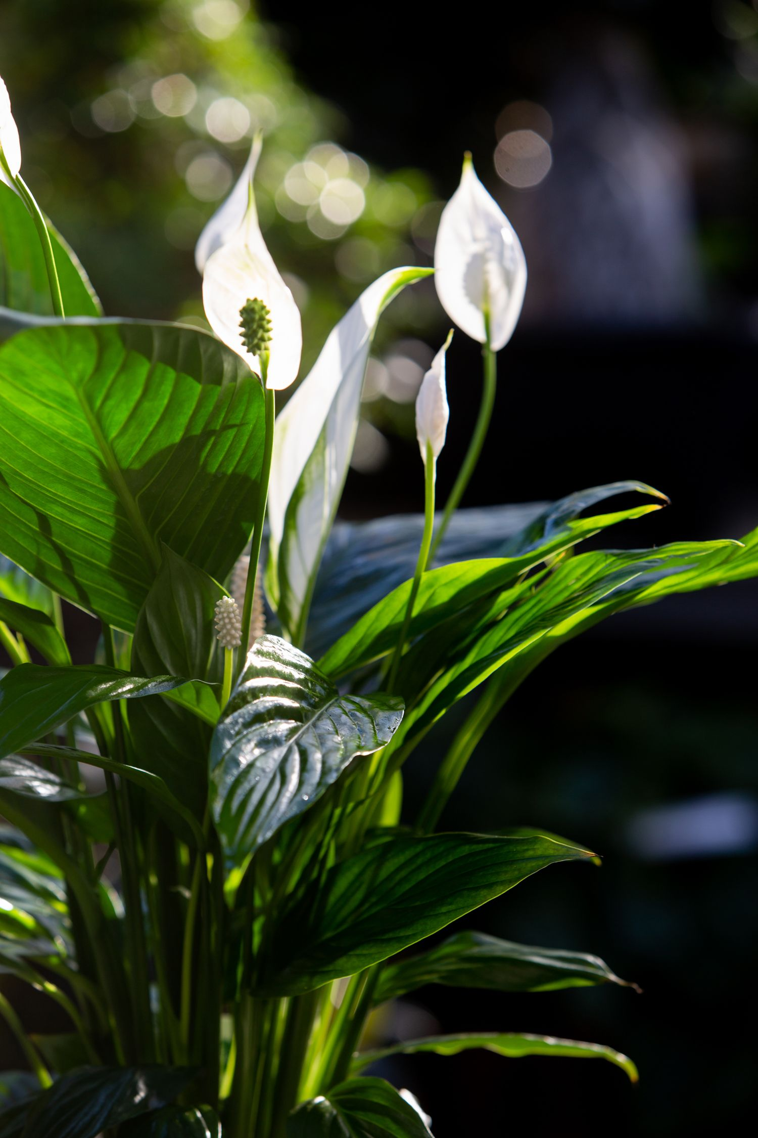 plante fleur blanche fleurs blanches