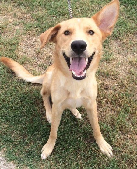 Adopt Sampson On Golden Retriever Mix Dogs Retriever Mix