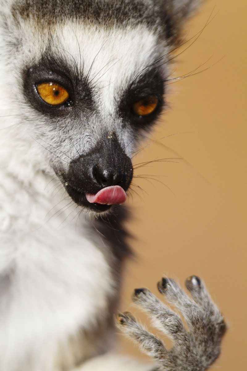 Ring-Tailed Lemur Portrait by Marius Coetzee  Hhmm, that was nice!! Well, so we hope anyway… Marius Coetzee captured this portrait of Madagascar's most famous animal, the comical, quizzical and utterly delightful Ring-tailed Lemur, in the famous Berenty Lemur Reserve, where they are particularly approachable.    For more information you are welcome to visit www.oryxphototgraphy.com  #wildlifephototgraphy#travelphotography#photosafari#luxurytravel#natureaddict#pictureoftheday#endlesssafari
