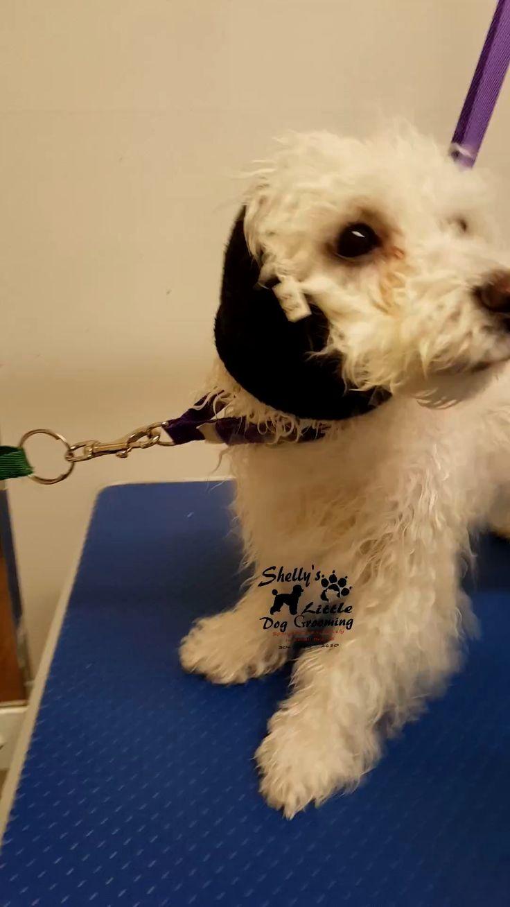 Pin by doglove on Bichon Frise   Bichon frise, Bichon ...