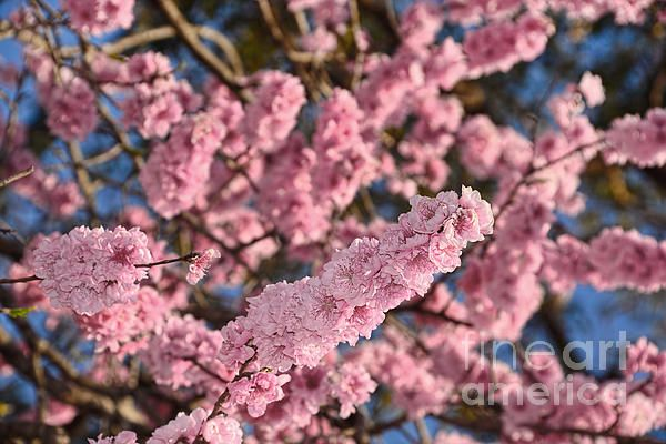 #PRETTY #PEACH #BLOSSOMS by #Kaye #Menner #Photography Quality Prints Cards Products at: http://kaye-menner.pixels.com/featured/pretty-peach-blossoms-by-kaye-menner-kaye-menner.html