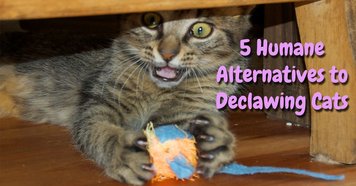 5 Humane Alternatives to Declawing Cats Playful Kitty