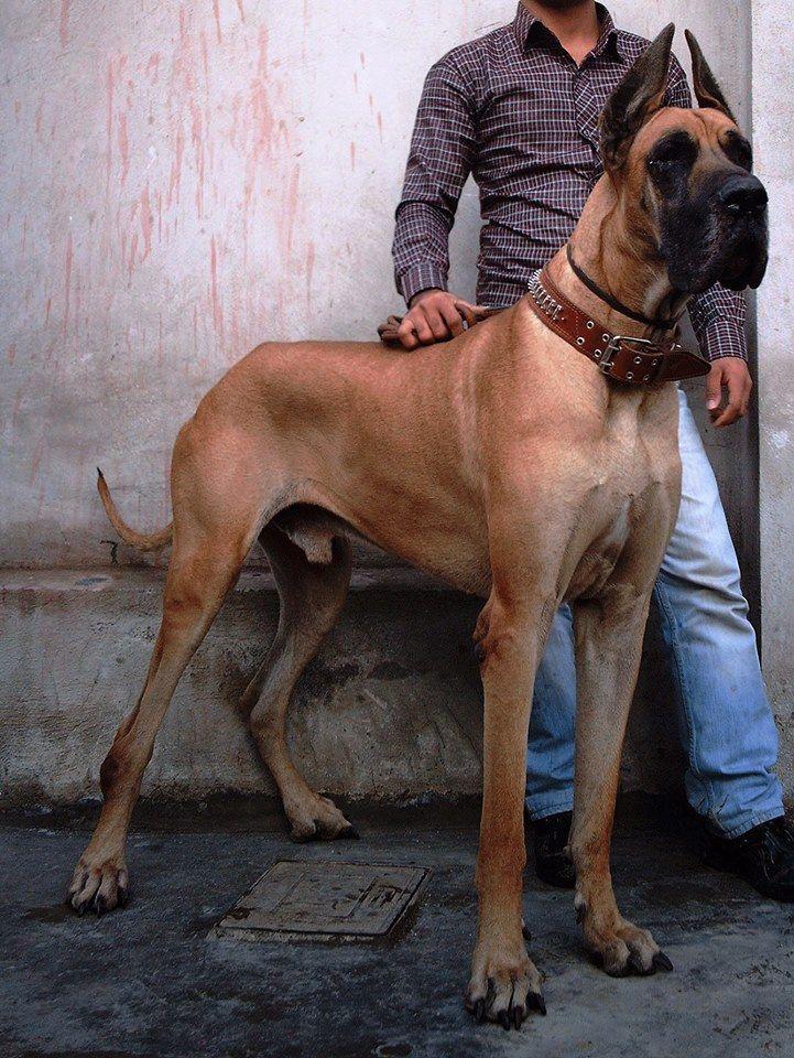 Fawn #Great #Dane | #Great #Dane Breed Board | Pinterest ...