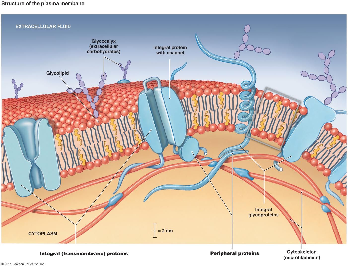 cell membrane structure diagram | cell membrane diagram