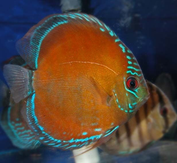 Tropical fish photos discus fish collaboration balls for Live discus fish for sale