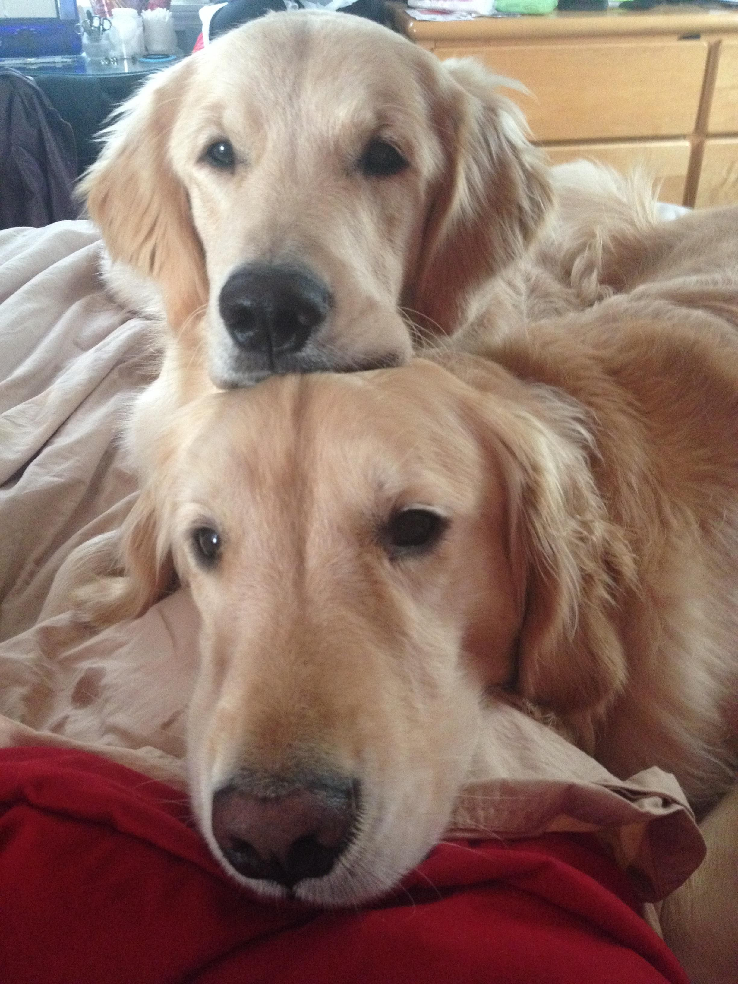 My Girlfriend Sends Me A Lot Of Pics Now That She Has 2 Goldens