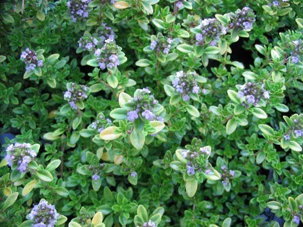 Timijan Thymus Vulgaris L Hemijski Sastav Suvog Lisca Medicinal Herbs Herbs Lisca