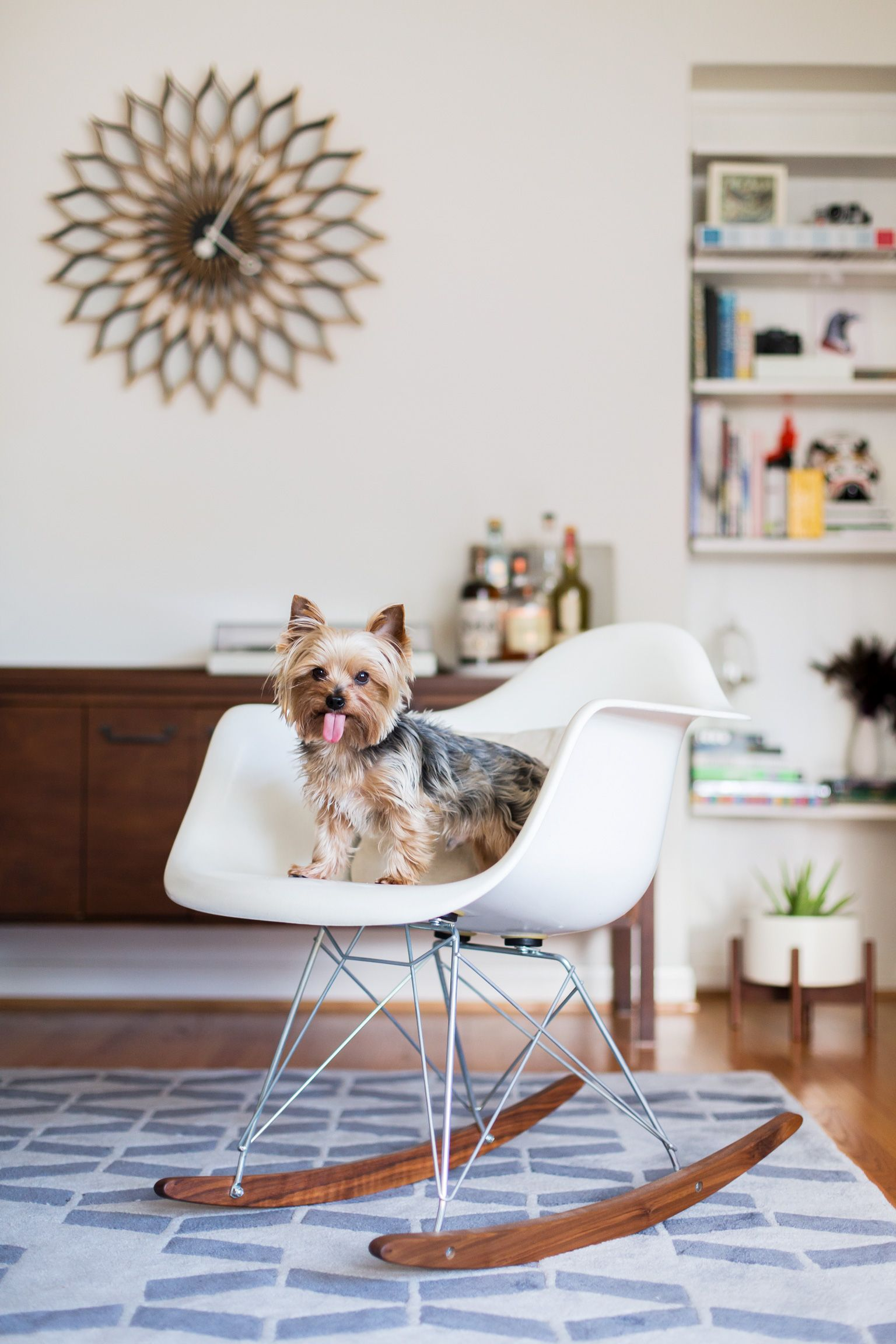 Pets On Furniture Contestant, Stormy The Yorkie, On A Fiberglass Rocker  Chair