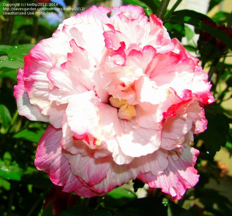 Full Size Picture Of Rose Of Sharon Danica I Hibiscus Syriacus I Tropical Flower Plants Rose Of Sharon Rose Of Sharon Tree