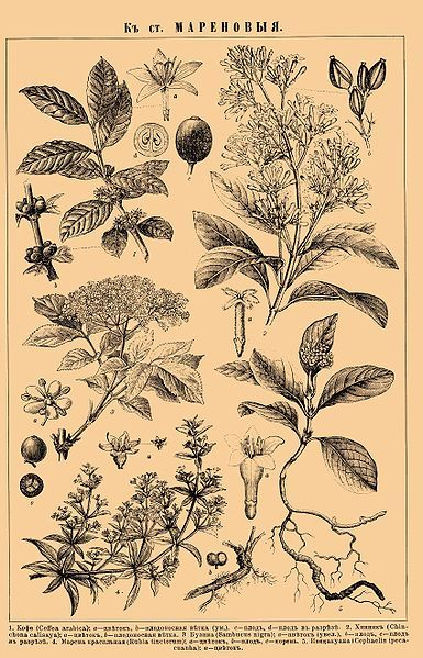 Coffee plant is in upper left corner. I'm not recognizing the other plants by the Latin names, and I don't know Russian...  #botanical #print #illustration #coffee  @Holly Commons.wikimedia.org