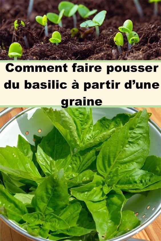 Comment faire pousser du basilic à partir d'une graine en ...