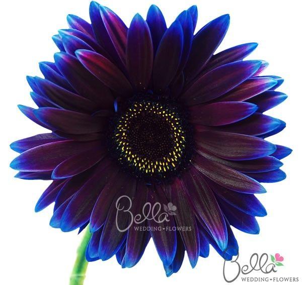 Purple Daisy Tattoo: Fresh Dark Purple/Burgundy Tinted Gerbera Daisies Wedding