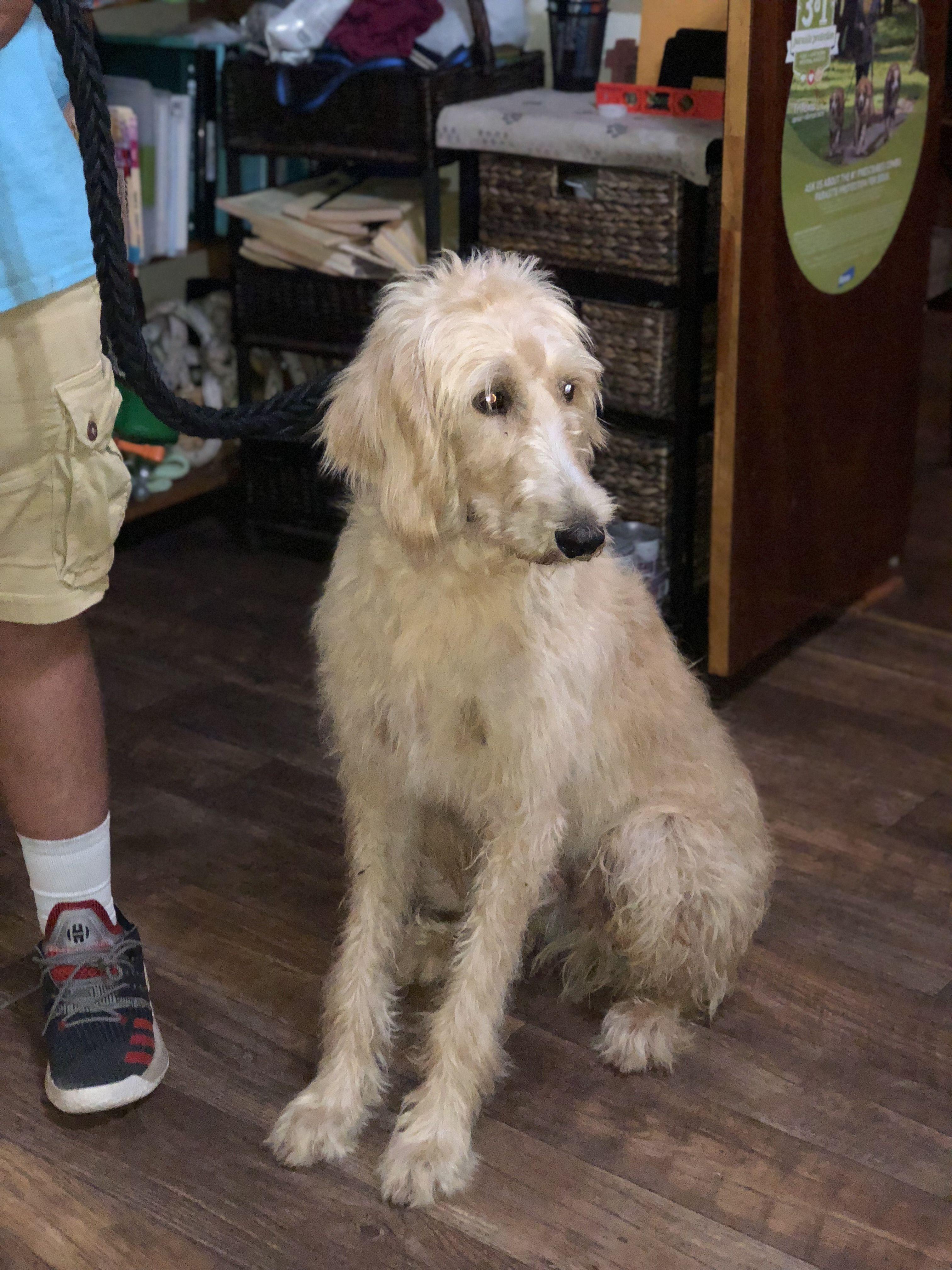 Adopt Charlie on Petfinder Poodle mix dogs, Charlie