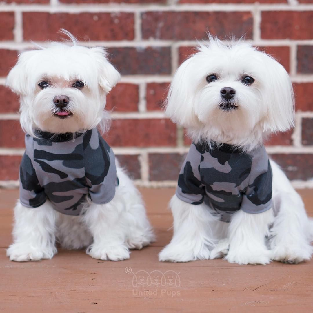 If We Have A Chance To Catch Criminals We Probably Can Melt Their Hearts First Fbi Cop Arodwang Maltese Puppylove Dogsofinstagram Puppy Haircut Dog Boutique Dogs