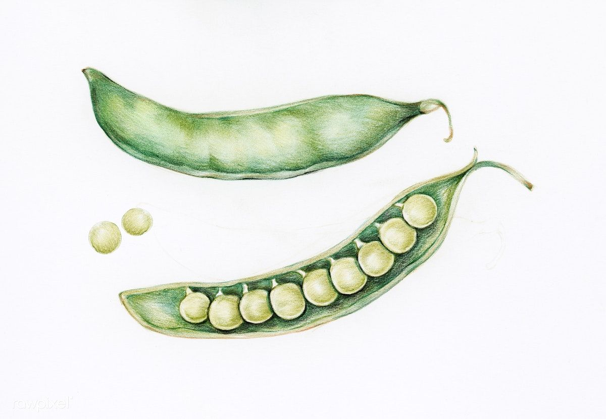 Hand Drawn Watercolor Of Green Peas Free Image By Rawpixel Com