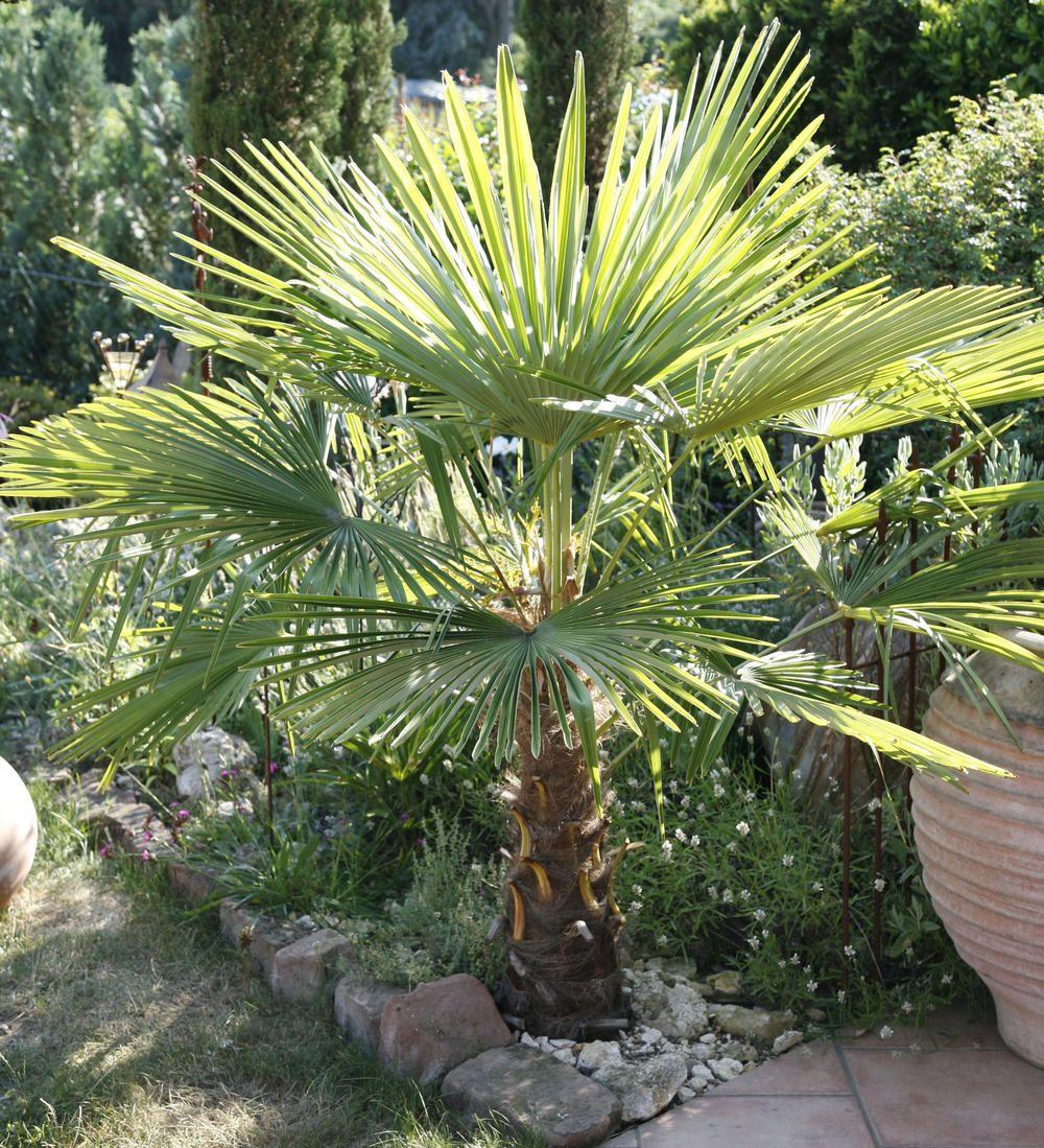 Palmen Exotische Wunderwerke Der Natur Palmen Garten Hanfpalme Mediteraner Garten