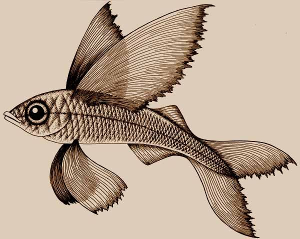 flying fish drawing originally drawn for a rubber stamp