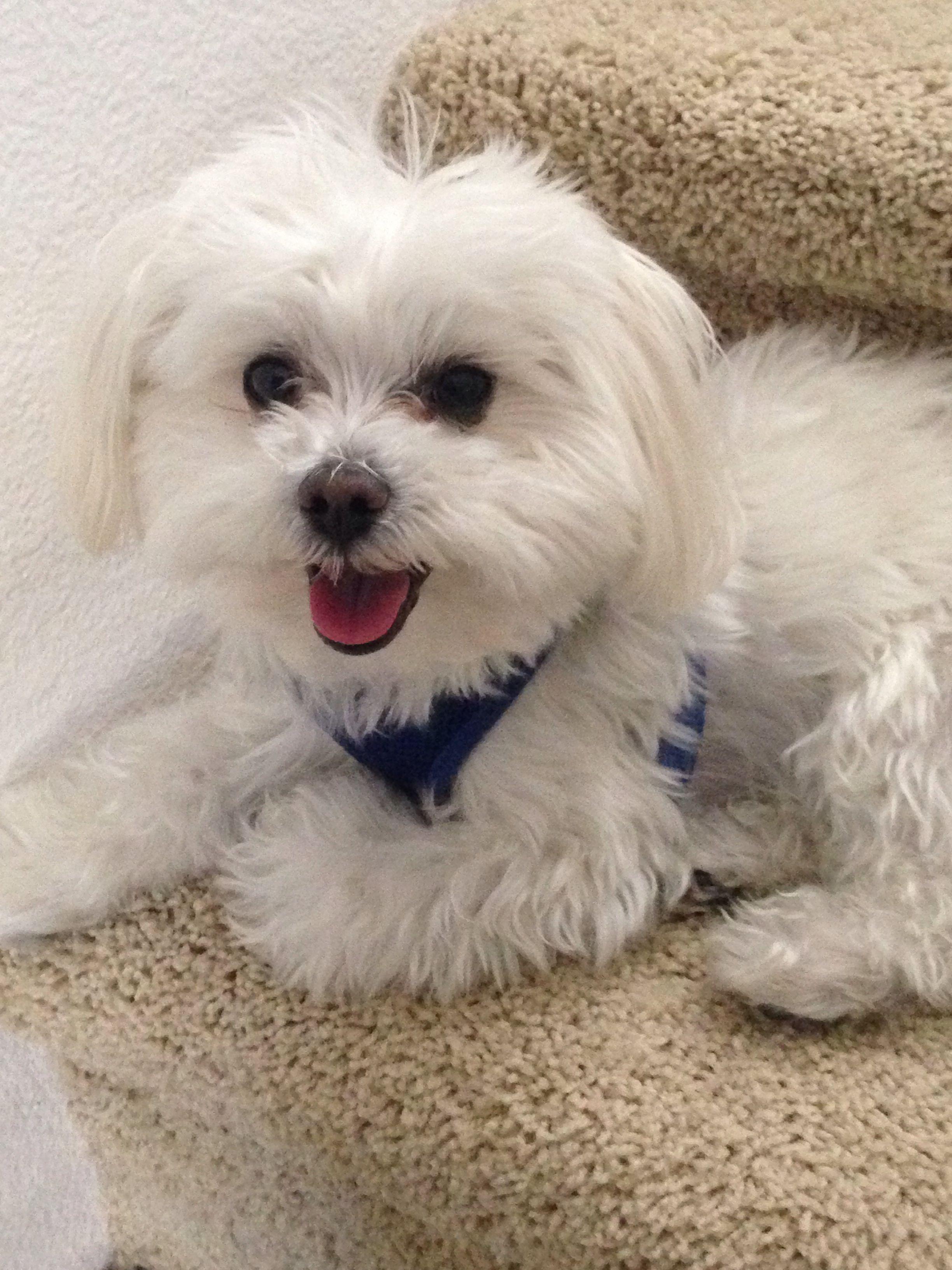 Looks Like My Dandi Boy 3 Maltese Puppy Maltese Dogs Puppies
