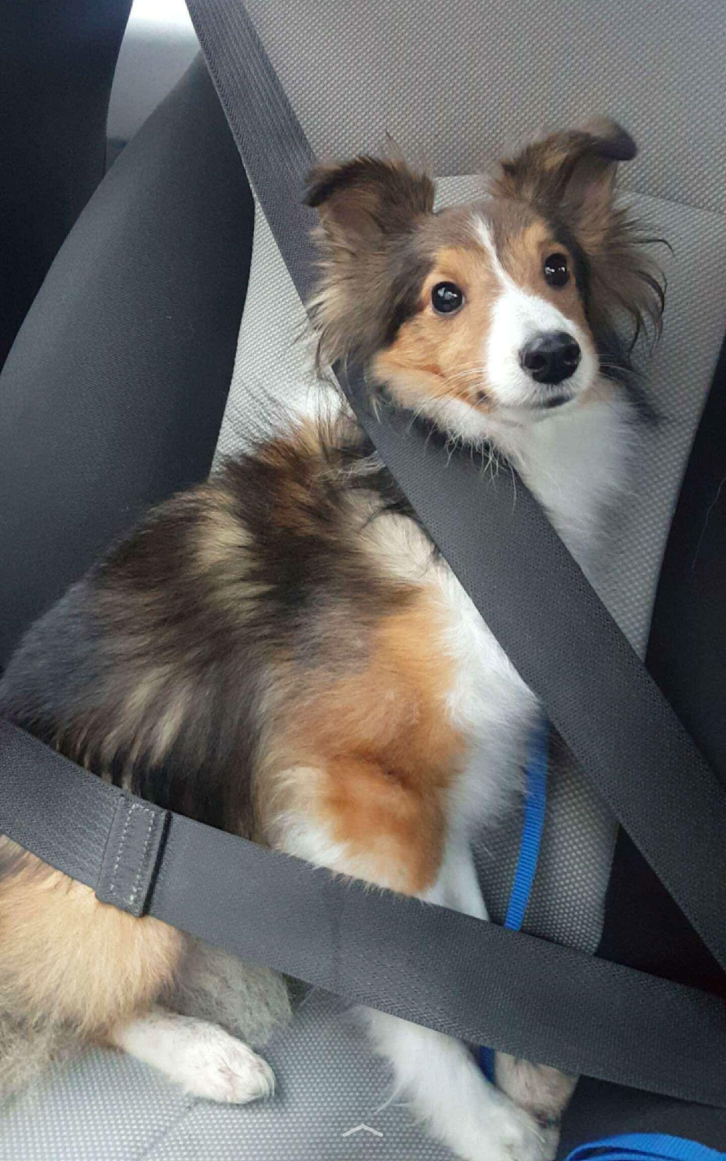 Too Cute To Be Real Shetland Sheepdog in the Car
