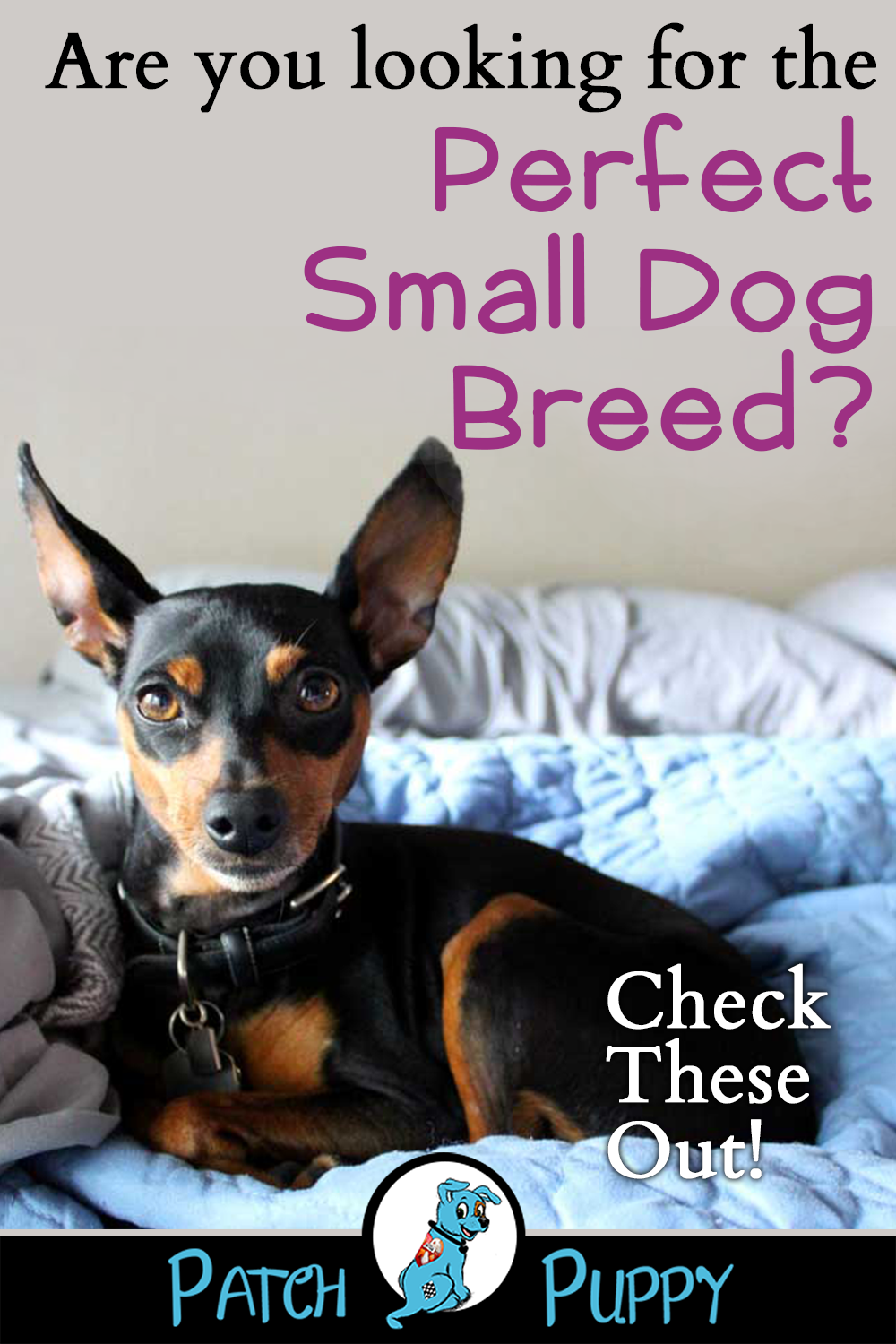 Teacup Chihuahua 8 Facts About These Small Adorable Mini Dog Breeds Chihuahua Puppies Puppies Cute Animals