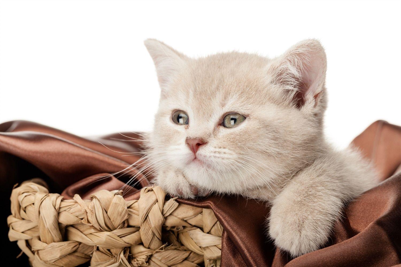 So Finden Sie Eine Gute Transportkiste Tasche Fur Katzen Katzen Britisch Kurzhaar Katzen Bilder
