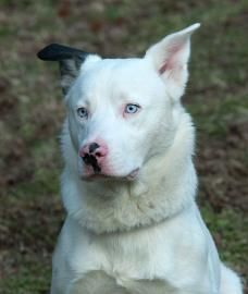Adopt Ghost On German Shepherd Dogs White German Shepherd
