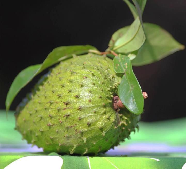 "soursop cancer and evergreen tree native Researcher finds raising interest in soursop  a broadleaf, flowering, evergreen tree native to  saying ""annonacin is a promising anti-cancer agent."