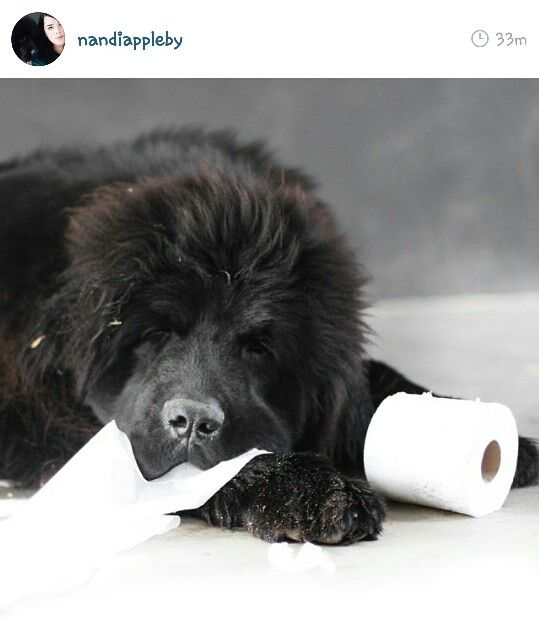 Nandi Appleby Newfoundland Dog Big Fluffy Dogs Newfoundland