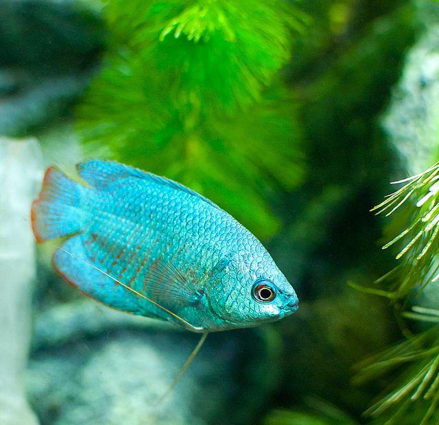 Gallery For Blue Powder Dwarf Gourami Aquarium Fish Fish Pet Animals