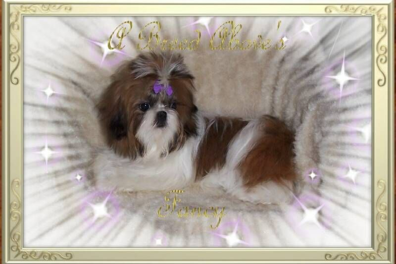 Fancy Is A Red White Female Akc Registered Imperial Shih Tzu