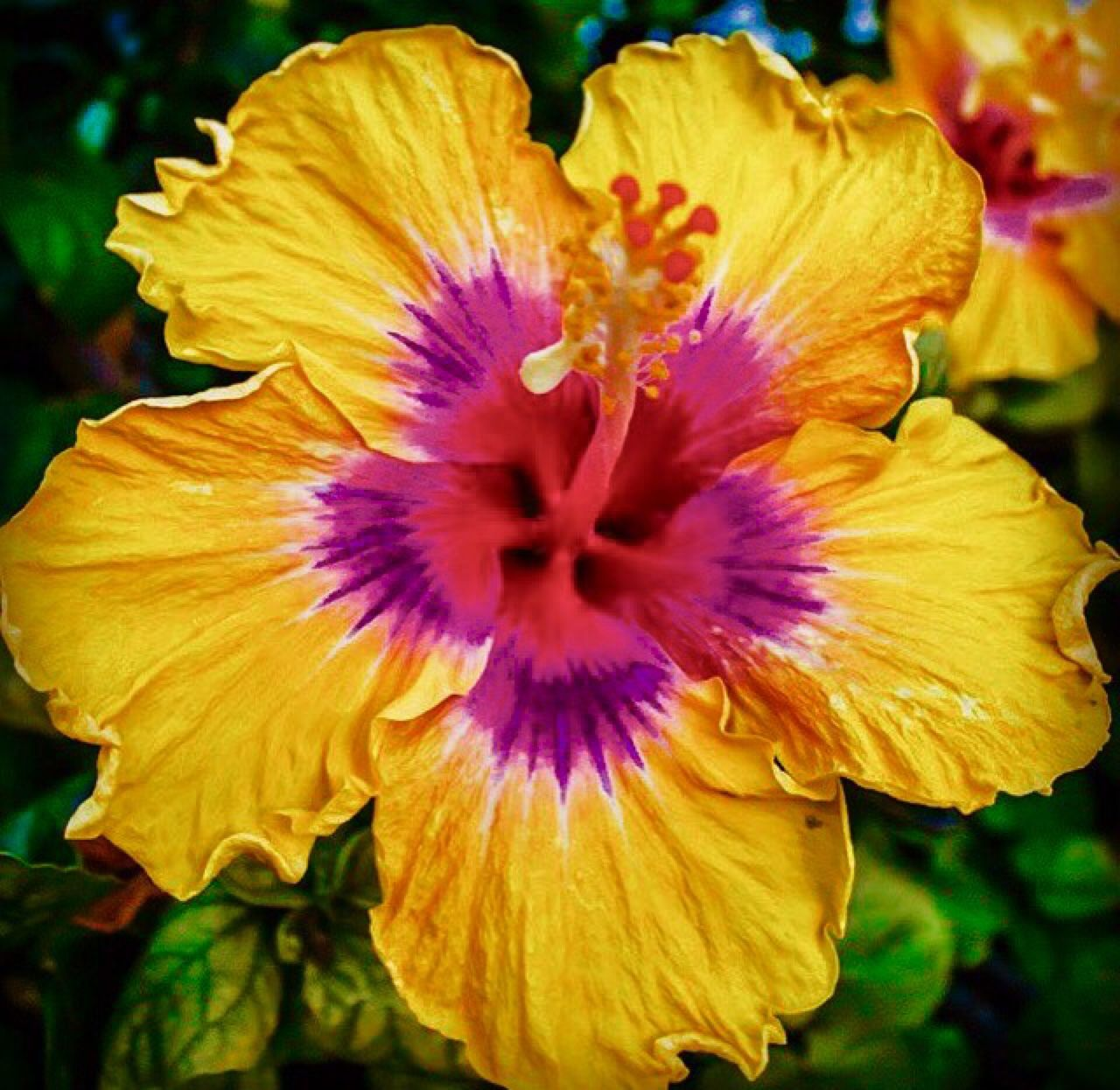 Coquita color color color pinterest hibiscus plants and flowers