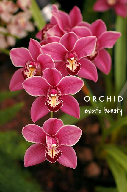 Orchid means exotic beauty talking flowers a valentines day orchid means exotic beauty talking flowers a valentines day guide to flower meaning via finding shibusa mightylinksfo