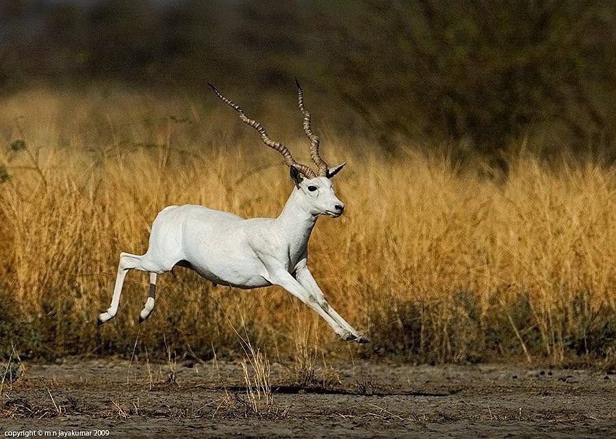 Albino Blackbuck (Antilope cervicapra)